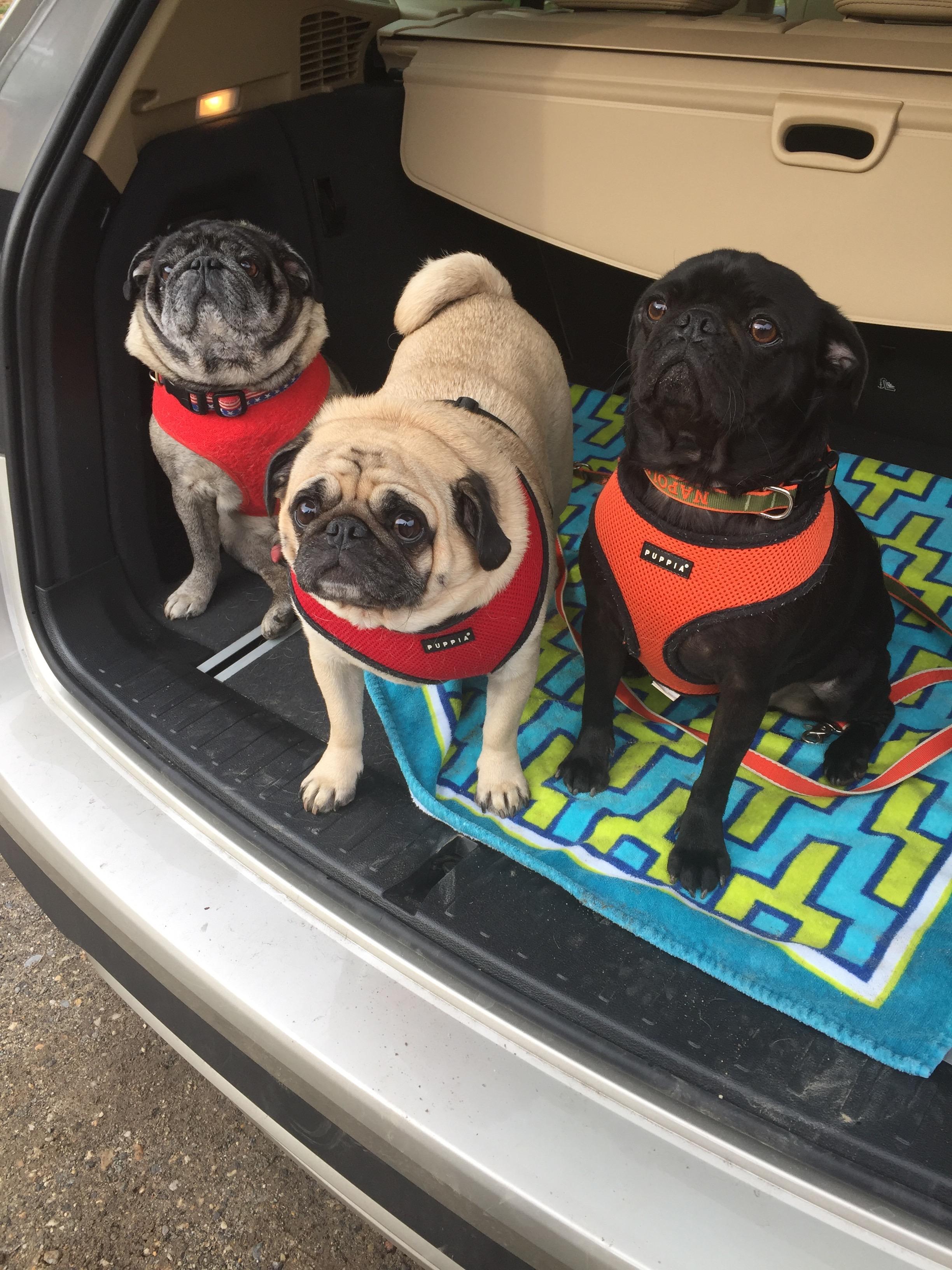 trunk pugs